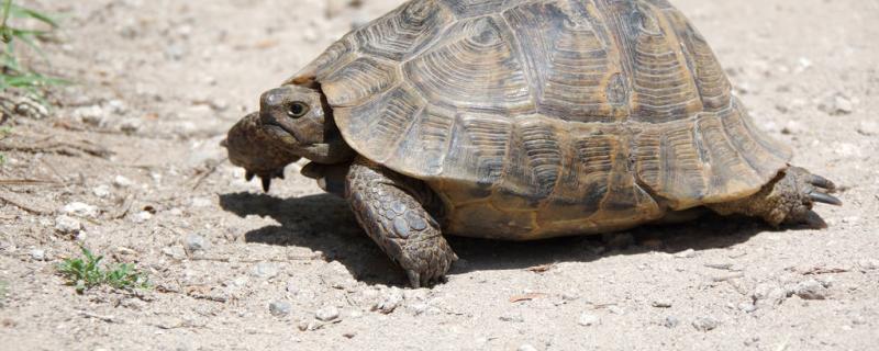 乌龟能干养吗,干养要怎么养