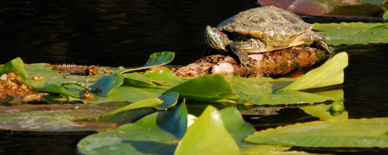乌龟怎么开食,乌龟能吃什么