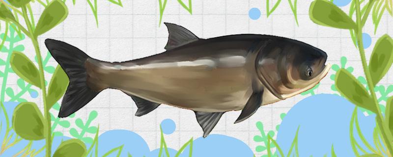 手竿钓鲢鳙饵料状态怎么控制,用什么味型的饵料