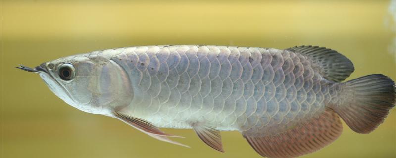 银龙鱼竖着头朝上是什么原因,怎么治
