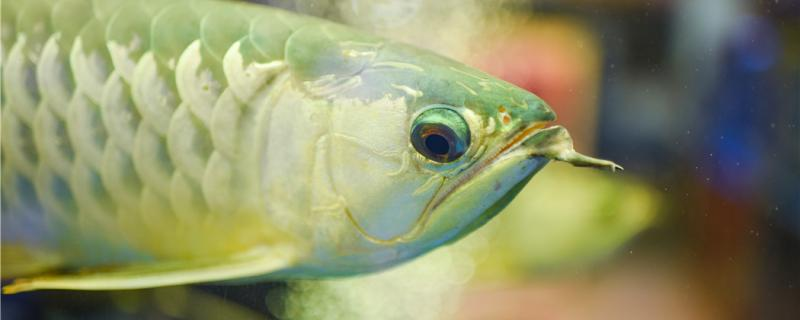 金龙鱼眼睛下垂什么原因,怎么办