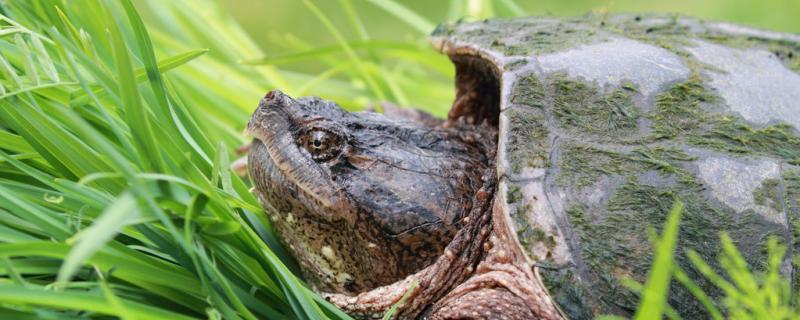 龟什么时候生蛋,乌龟怎么繁殖