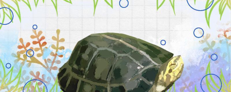 黄头龟不吃食不动是怎么回事,怎么解决