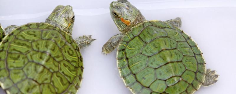 巴西龟认识主人的时候有什么表现?怎么训练巴西龟认识主人