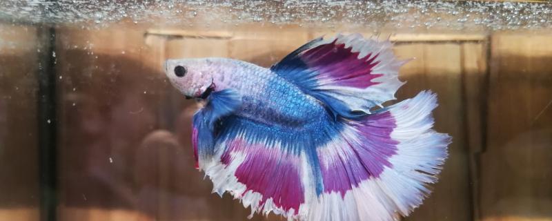 泰国斗鱼多久可以繁殖第二次,繁殖后怎么孵化