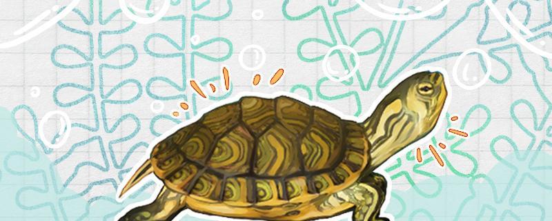 六厘米的黄耳龟几岁,怎么看黄耳龟几岁了