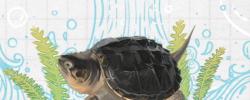 鳄龟消化食物一般几天,喂什么食物好