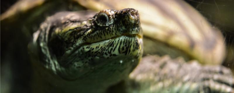 养龟为什么不能养双,什么龟比较好养
