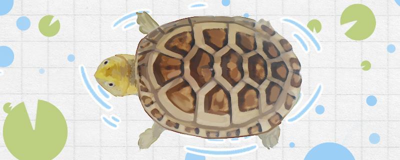 白唇蛋龟怎么养发色,发色有哪些因素