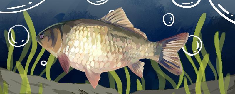 秋季钓鲫鱼钓底还是钓浮,用什么饵料