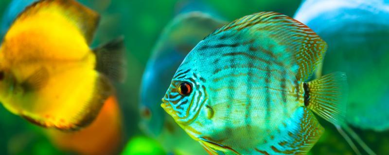 七彩神仙鱼长什么样,怎么养