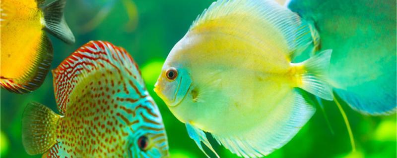 80的鱼缸可以养几条七彩神仙鱼,用什么装饰好