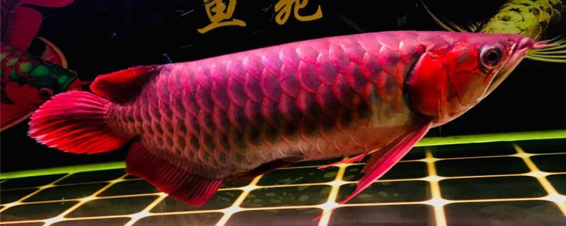 和红龙鱼混养的有哪些鱼,混养需要注意什么