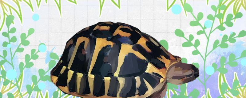 陆龟养殖注意事项,怎么养陆龟长得好