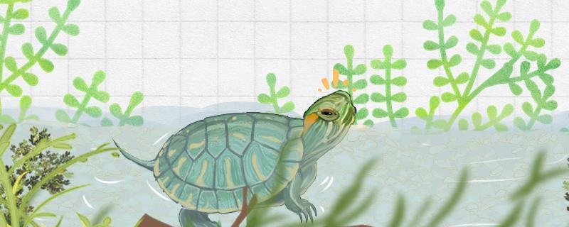 巴西龟尾巴上的壳有一点软是为什么,软甲病怎么治疗