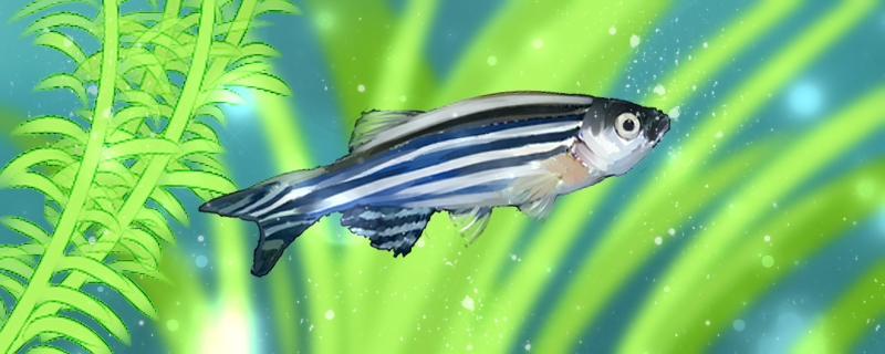 斑马鱼吃樱花虾吗,还吃什么食物