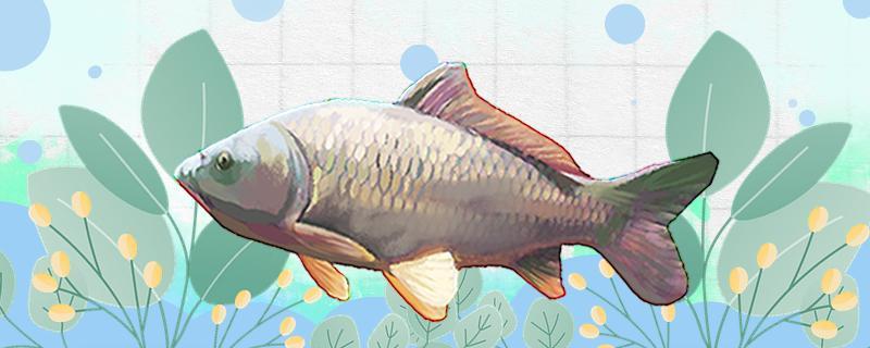 秋季钓鲤鱼好钓吗,饵料如何搭配