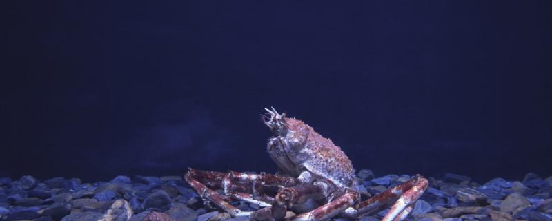 海里螃蟹能钓到吗,爱吃什么饵料