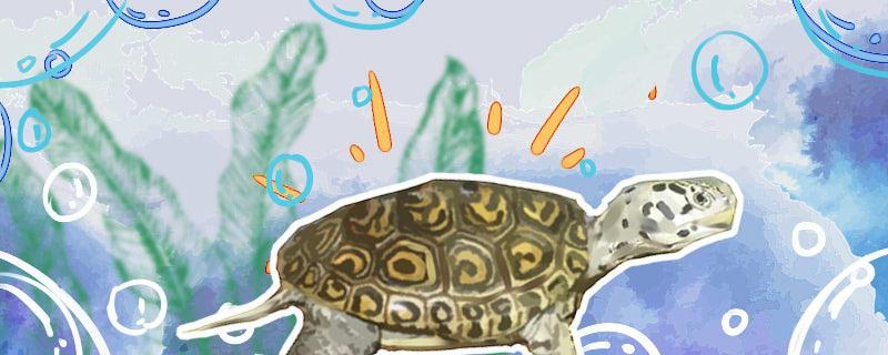 大花钻纹龟和小花钻的区别在哪,钻纹龟怎么才能养好