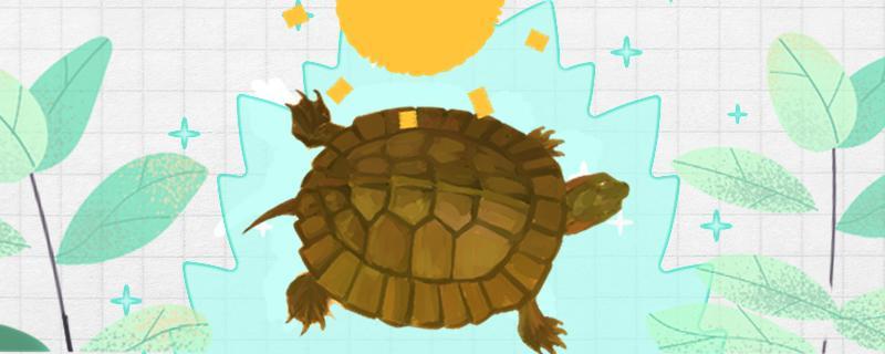 齿缘龟为什么不有人养,齿缘龟怎么养