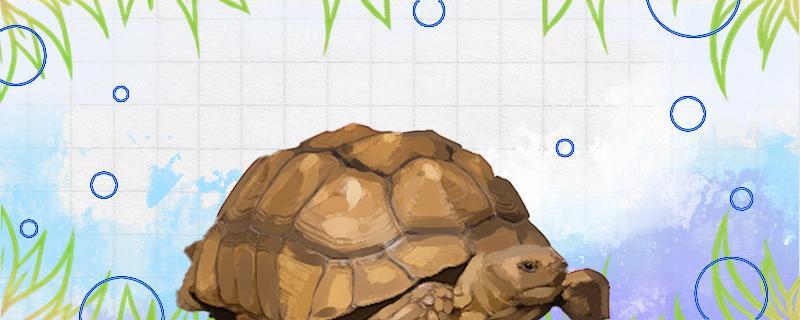 苏卡塔尔陆龟是保护动物吗,为什么陆龟不能养