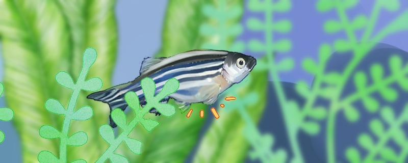 斑马鱼几个月可以初次繁殖,多长时间繁殖一次