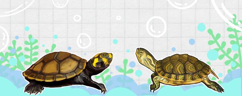 黄耳是什么龟,怎么养