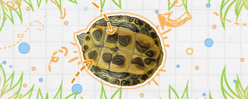 巴西红耳龟认识主人吗,怎么训练巴西龟