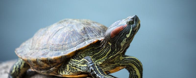 龟的养殖技术,池塘养龟怎么养