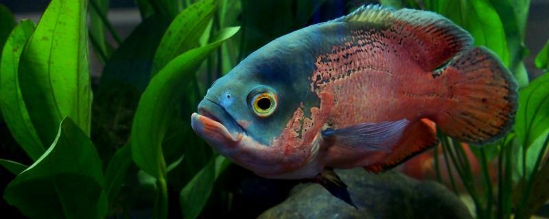 地图鱼最低温度多少度,水温多少合适