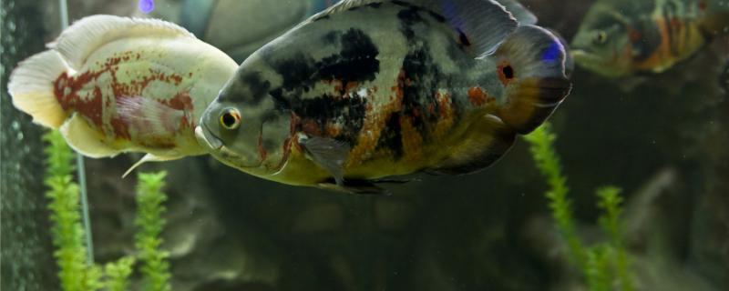 地图鱼病有哪些,怎么治疗