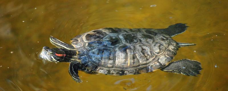 鱼龟混养好不好,鱼龟混养要注意什么
