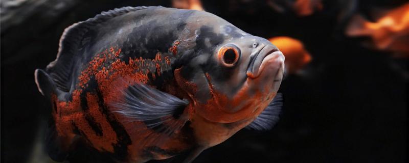 地图鱼能放海盐吗,放多少合适