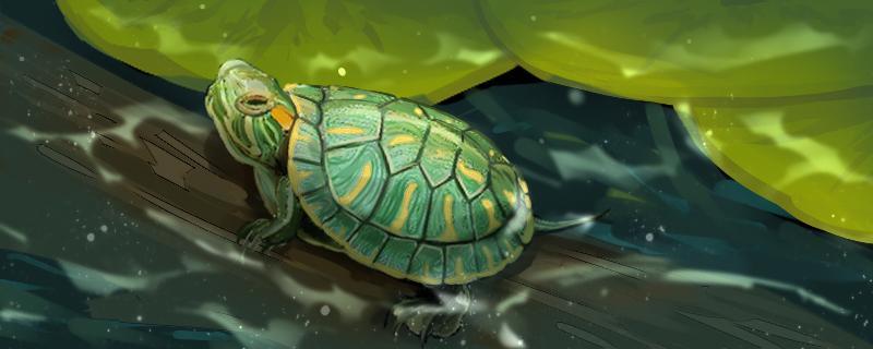 巴西龟龟壳上翘怎么办,换壳要注意什么