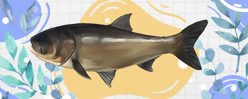 深水钓鲢鳙要钓多少深,用什么饵料