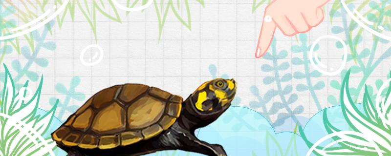 侧颈龟能长多大,侧颈龟怎么养