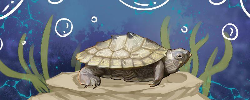 地图是深水龟还是浅水龟,怎么养