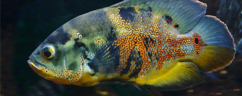 地图鱼多久繁殖一窝,怎么繁殖