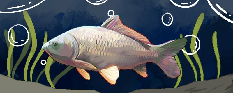 钓鲤鱼开饵是什么意思,怎么开饵