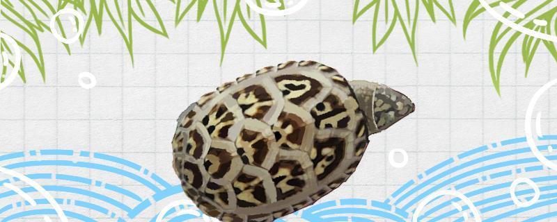 蛋龟怎么看公母,蛋龟怎么繁殖