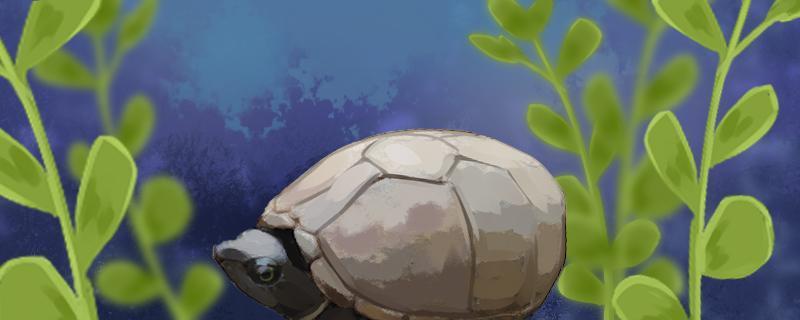 蛋龟都有什么品种,怎么养