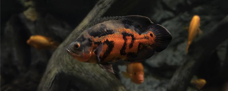 地图鱼不爱吃食怎么回事,怎么解决