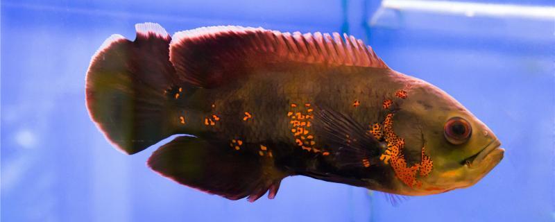 地图鱼怕什么鱼,能和什么鱼混养