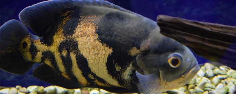 地图鱼鱼鳍烂什么原因,怎么治疗