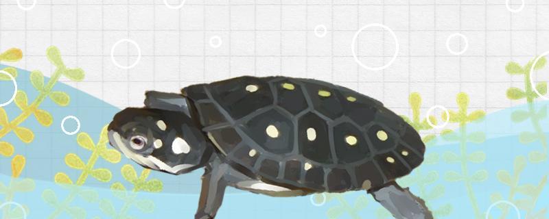 星点龟好养吗,怎么养