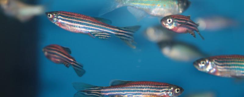 红斑马鱼和蓝斑马鱼可以繁殖吗,怎么繁殖