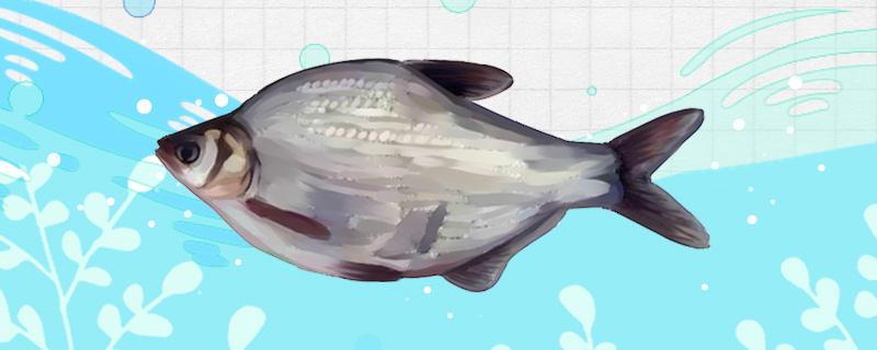 野钓鳊鱼的最佳水深是多少,用什么饵料