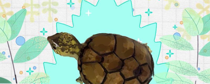 东方泥龟可以冬眠吗,冬眠要注意什么