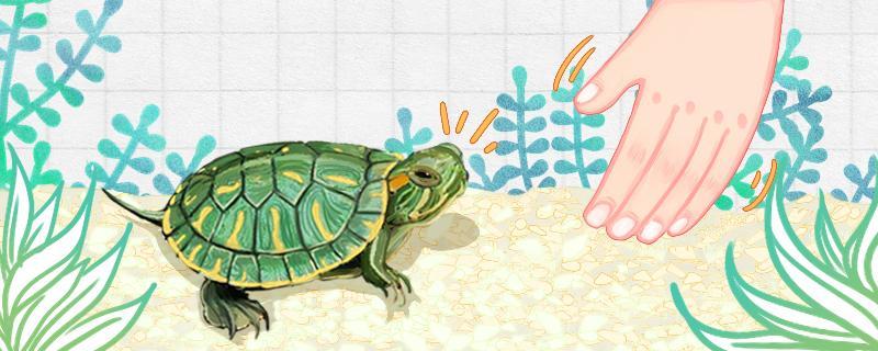 巴西龟龟壳有白色的东西是什么情况,换甲怎么办