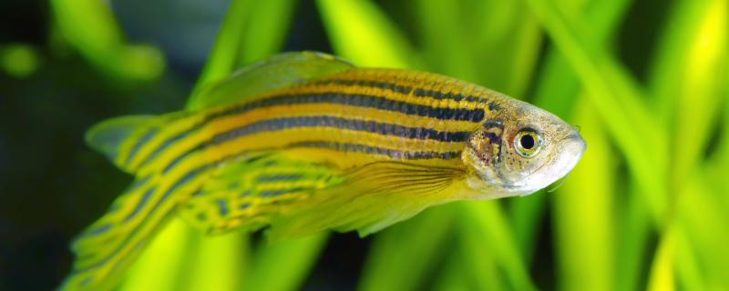 斑马鱼会吃孔雀鱼的幼苗吗,能混养吗